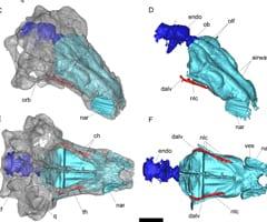 Pawpawsaurus, SMU, dinosaur, armored, smell, hearing