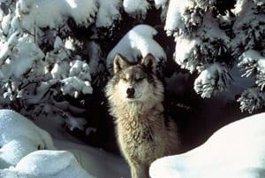graywolfcredittracybrooksmissionwolf72dpi.jpg