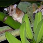 Opossum03