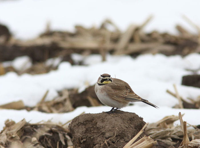 Horned Lark, photo by T. Prestby