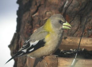 Evening Grosbeak photo by Tom Prestby