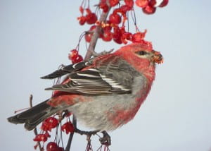 Pine Grosbeak photo by  Tom Prestby