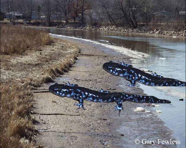Gigantic Salamanders feed along the shore of the Fox River.