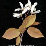 A-laevis-flowersb