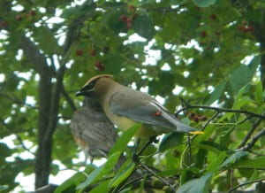 Cedar Waxwing and American Robin feed on Serviceberries
