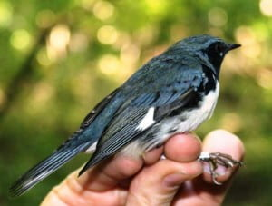 Black-throated Blue Warbler.
