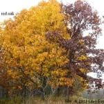 Oaks proovide late season color.