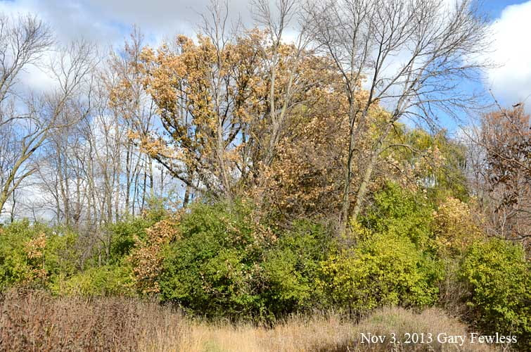 European Buckthorn remains green late into Autumn.