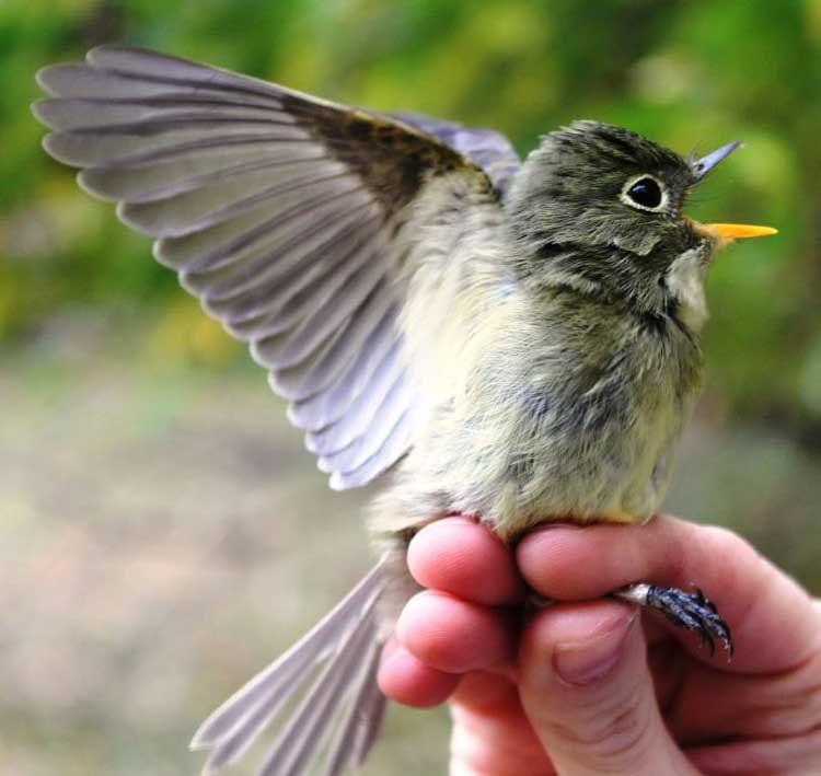 Yellow-bellied Flycatcher.