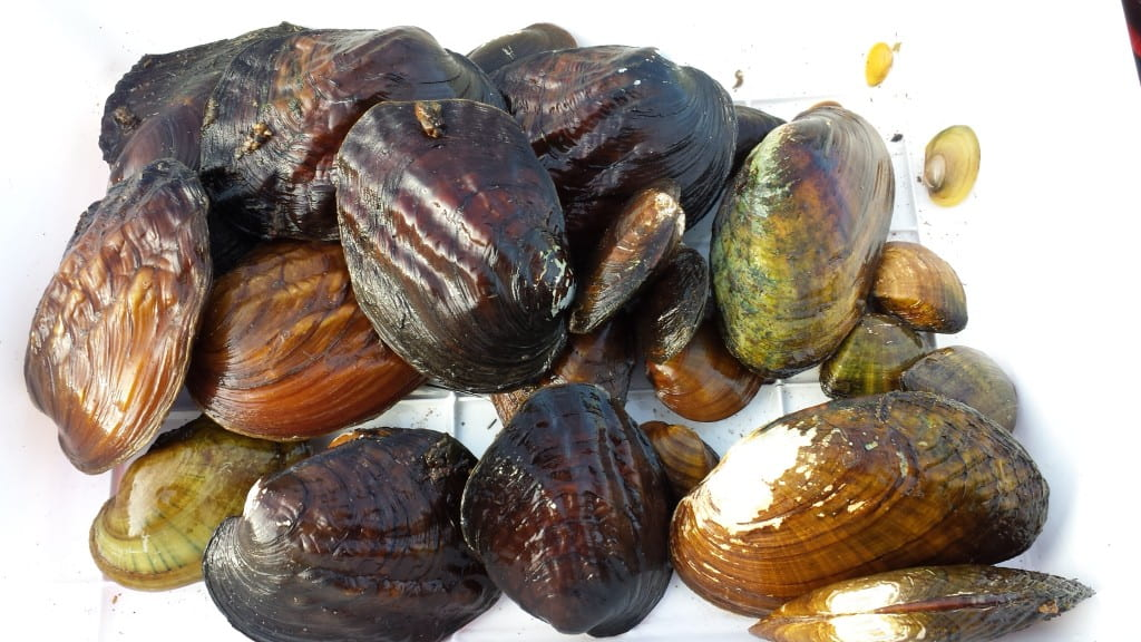 Freshwater Mussels from the Oconto River.