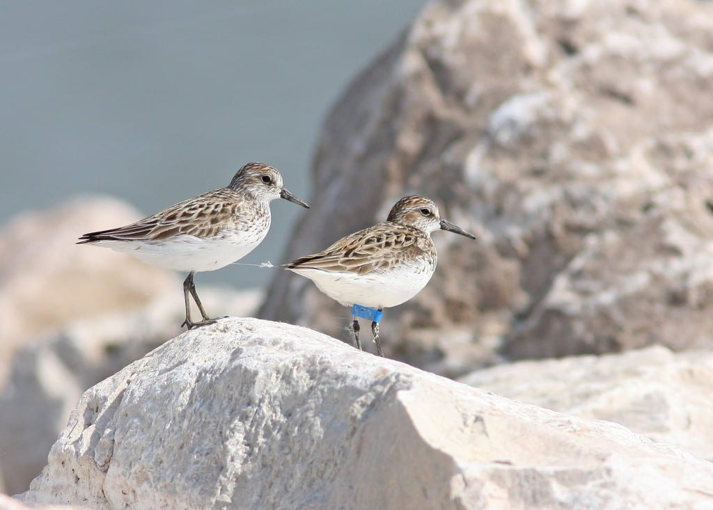 Semipamated Sandpiper photo by Tom Prestby