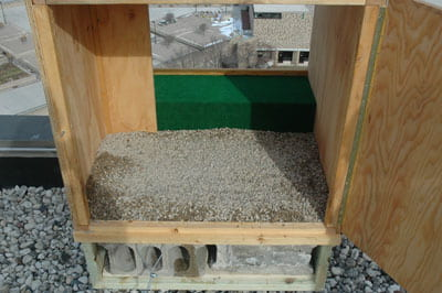 UW-Green Bay, peregrine falcons, nesting box
