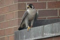 Rupert, male peregrine nesting at UW-Green Bay
