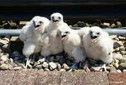 young-peregrines-by-greg-septon
