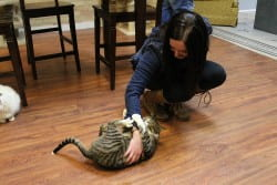 Tabby cat getting a belly rub at Safe Haven Pet Santuary