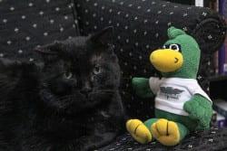 Black shorthair domestic cat with plush Phlash Phoenix