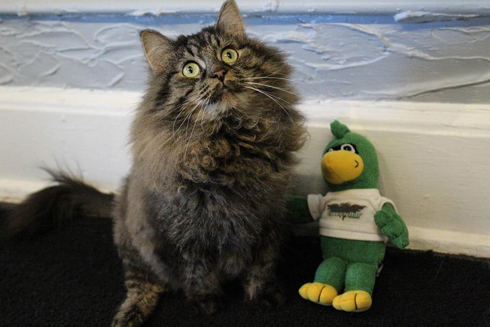 Domestic longhair cat with plush Phlash Phoenix
