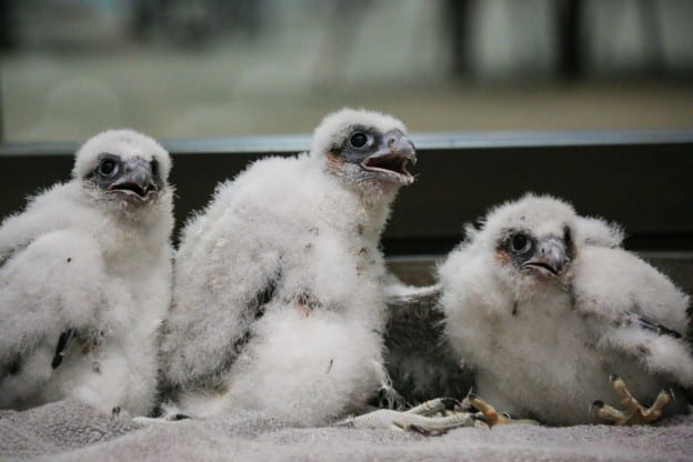 2018 peregrine falcon hatchlings, Annie, Gary, and Tom