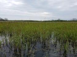 wild rice_Peshtigo River