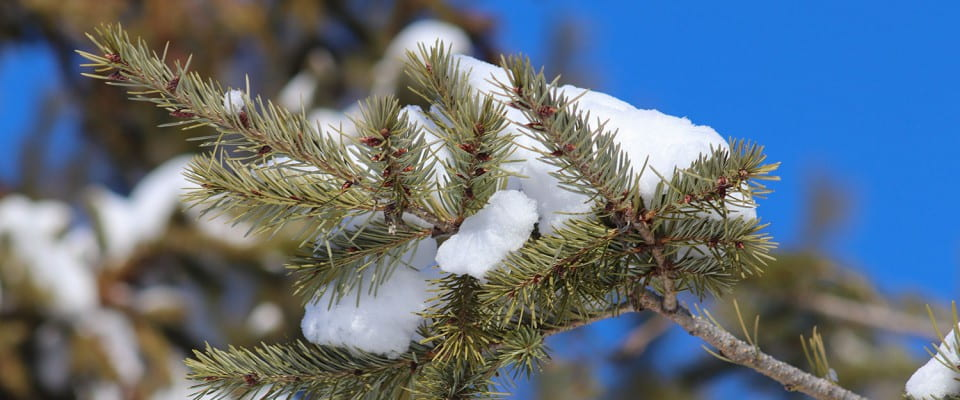 Tree branch covered in snow.