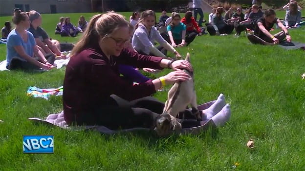Goat Yoga story by NBC26