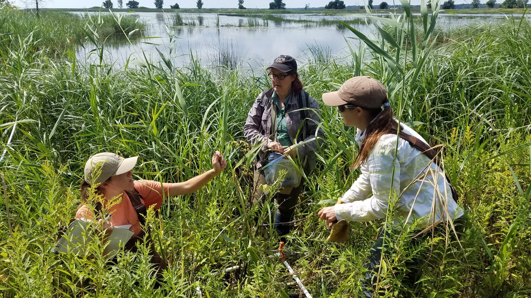 Phragmites research data collection