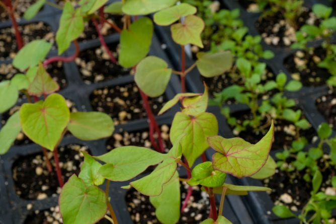 Takane Ruby Buckwheat growing inside the Lab Sciences Greenhouse at UW-Green Bay.