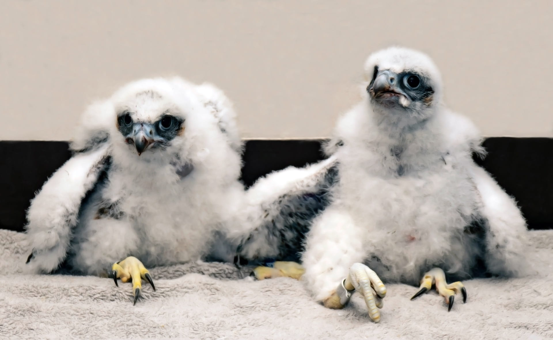 young peregrine falcons