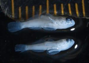 Round Goby Larvae. 7 mm. United States Fish and Wildlife Service. Green Bay, WI. Adam Dziewa. 2018.