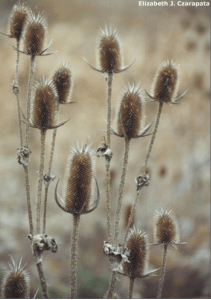 Common Teasel - Dipsacus fullonum (Regulated/Restricted)