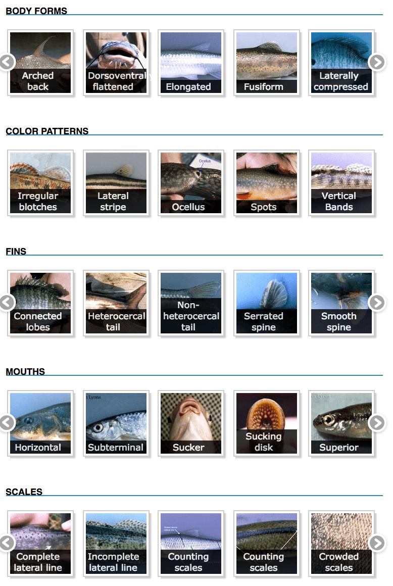 Fish Anatomy Categories to Identify Fish (UW – Sea Grant)