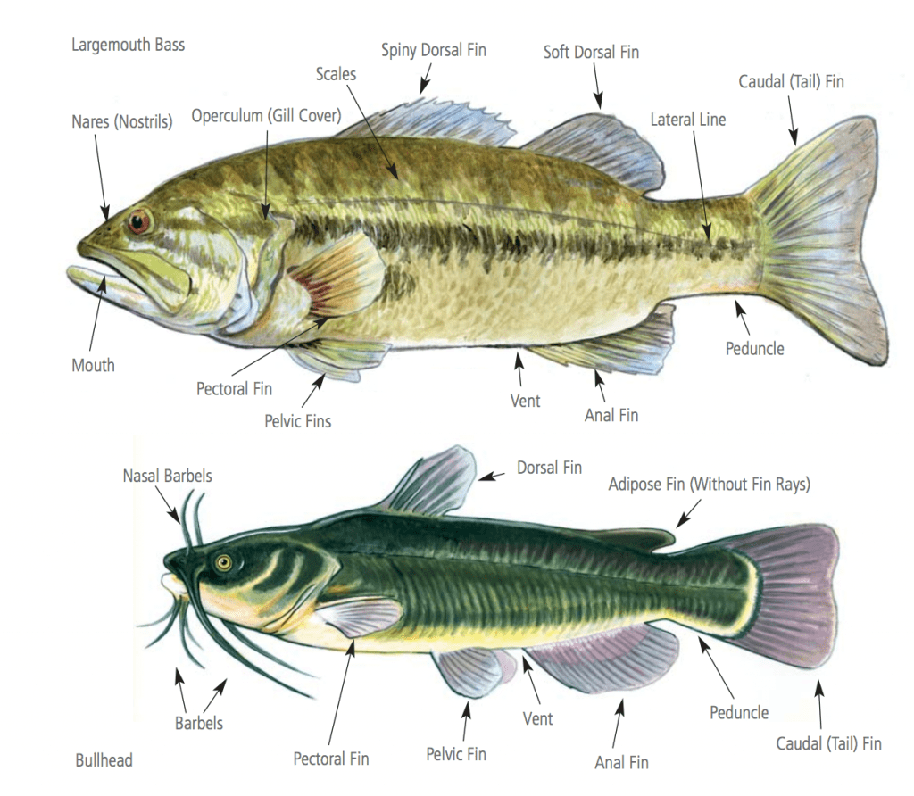 Physical Characteristics of Freshwater Fish in Wisconsin (WIDNR)
