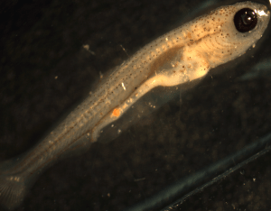 Hypophthalmichthys nobilis, big head carp. Larva right side view, 10.03mm. Adults captured on Missouri River; spawned and raised in lab. Stacey Ireland, USGS Great Lakes Science Center 2013. EPRI