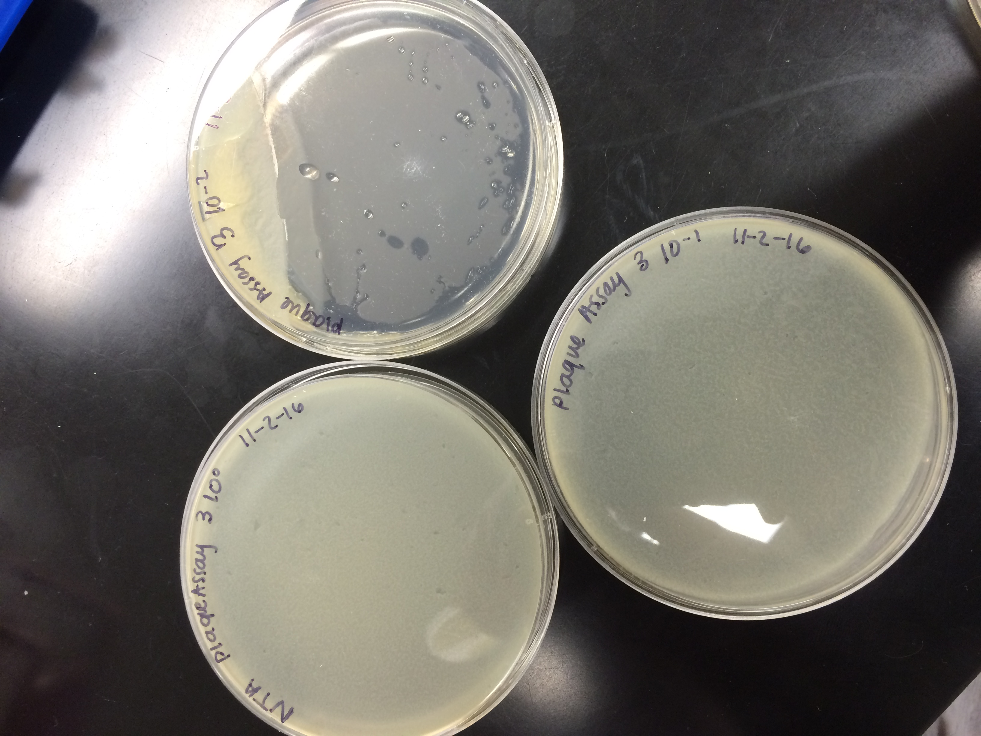 img_5183 img_5186 & Day 24 Spot Test and Plaque Assay of a New Plaque 11-7-16 | Bears in ...