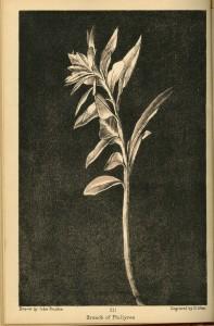 aratra-pentelici-flower010