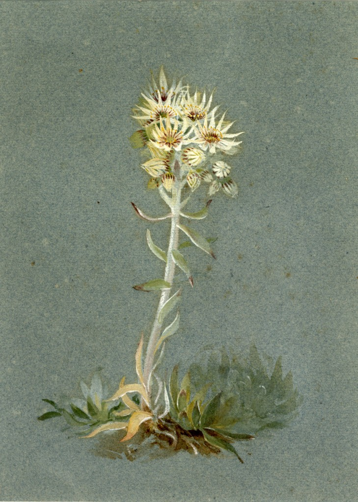 Lilias Trotter. Desert Flowers. Courtesy of Ruskin Library.