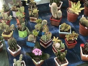 Fig. 2, Potted cacti at an open-air market in Florence, Italy