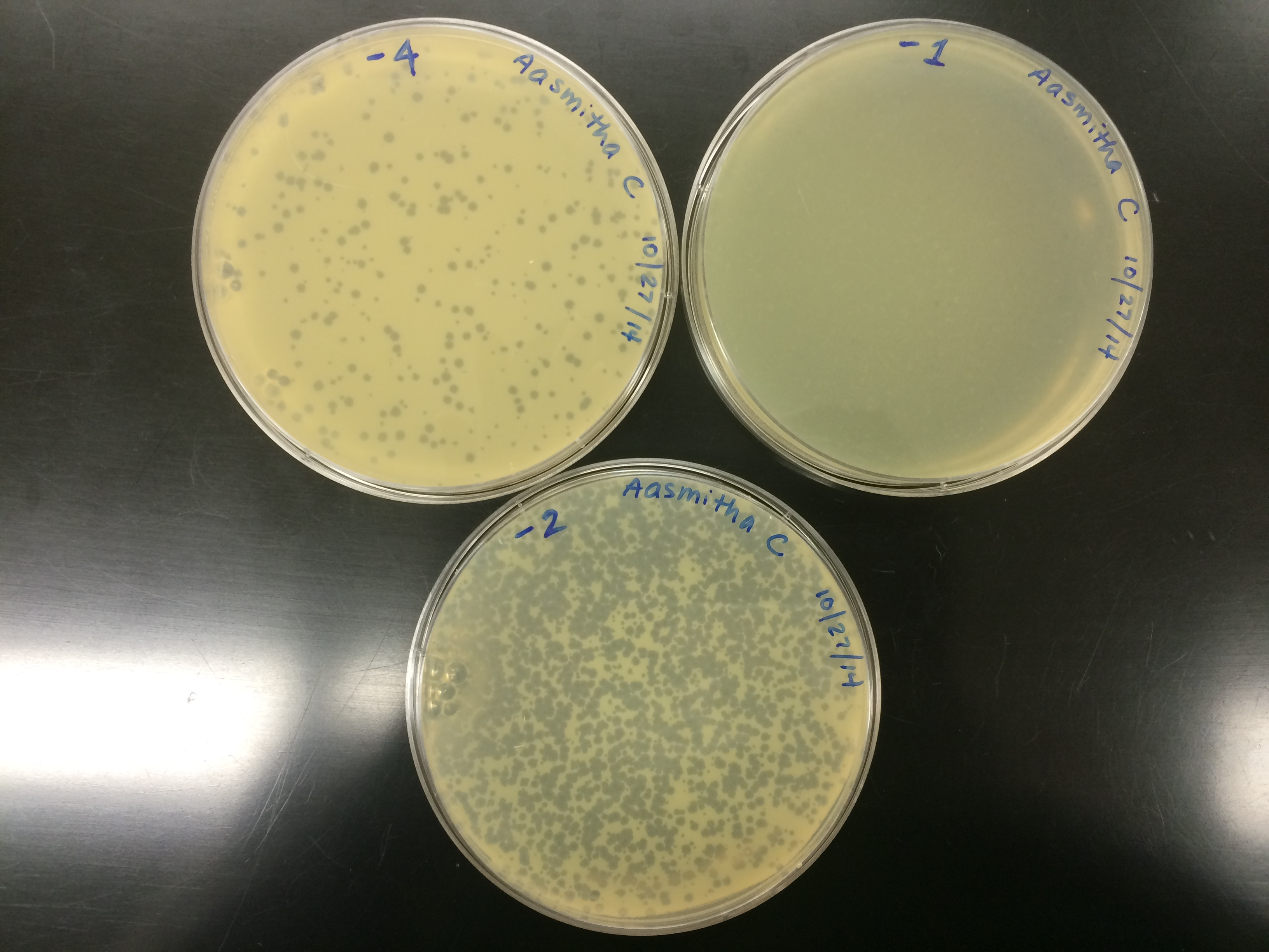 bacteriophage titer lab Experiment to cultivate and enumerate a bacteriophage principle: a suspension of bacteria, susceptible to a bacteriophage (virus that infects bacteria) is seeded with that bacteriophage and allowed to grow as a confluent lawn on an agar plate.