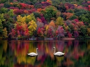cover-photo-swans-in-fall