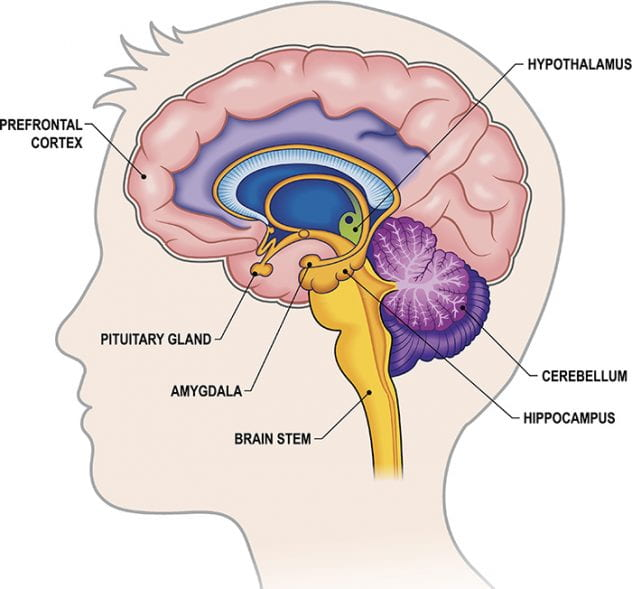Labeled view of brain.