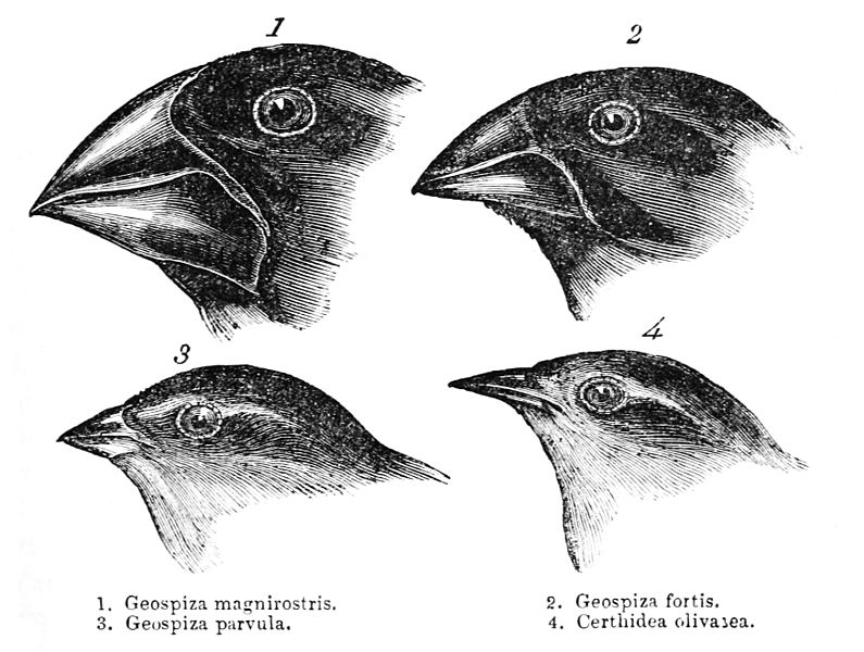 Darwin's finches, showing the different beak sizes and adaptations. Image from WikimediaCommons.