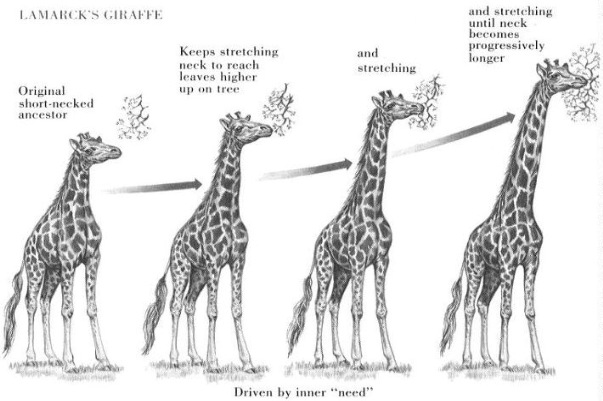 An example of Lamarckism - the giraffe stretches its neck to reach the leaves, and passes this trait on to its offspring. Image source.