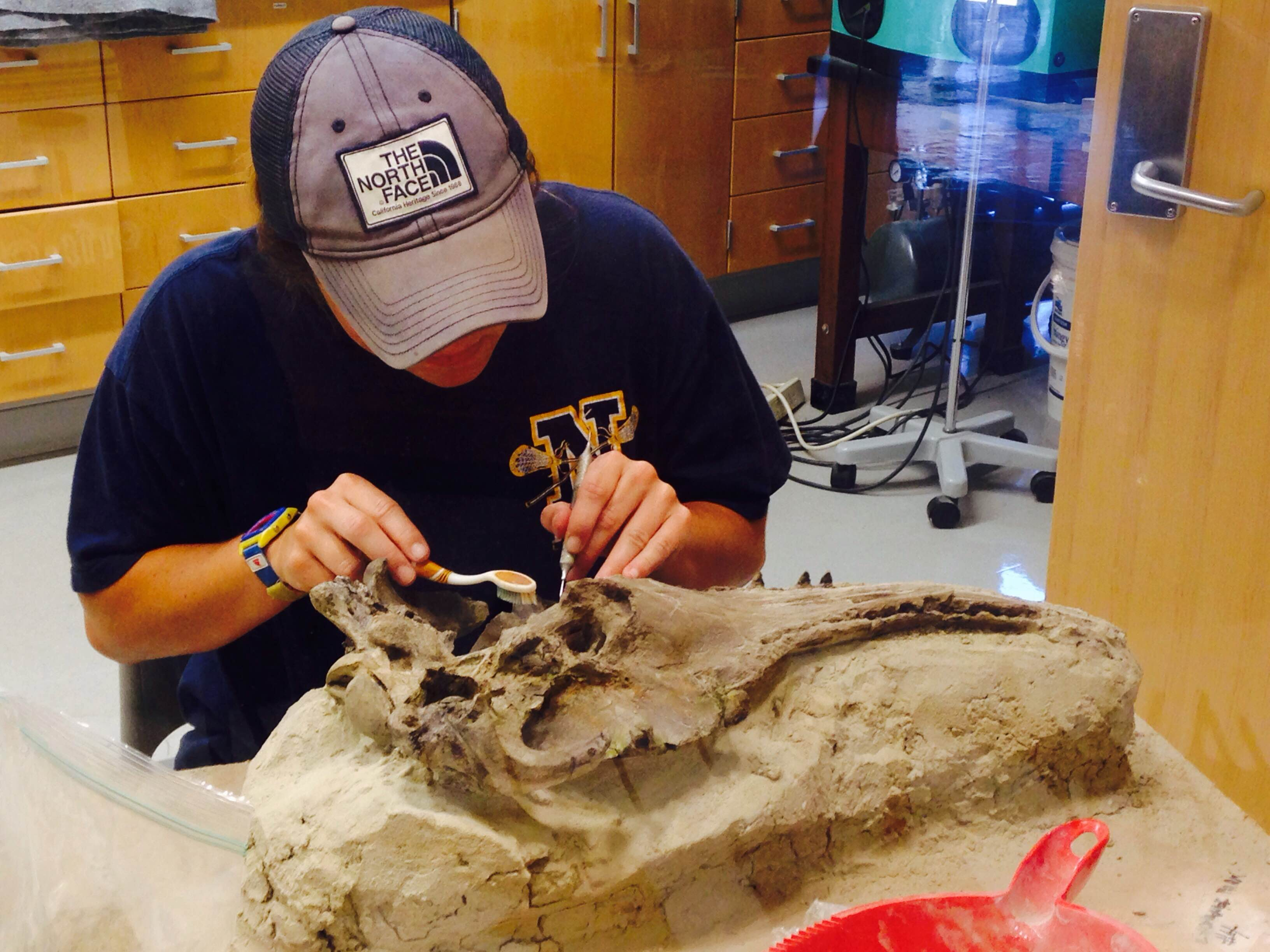 Jordy working on her Waipatiid skull. Photo by R. Boessenecker.