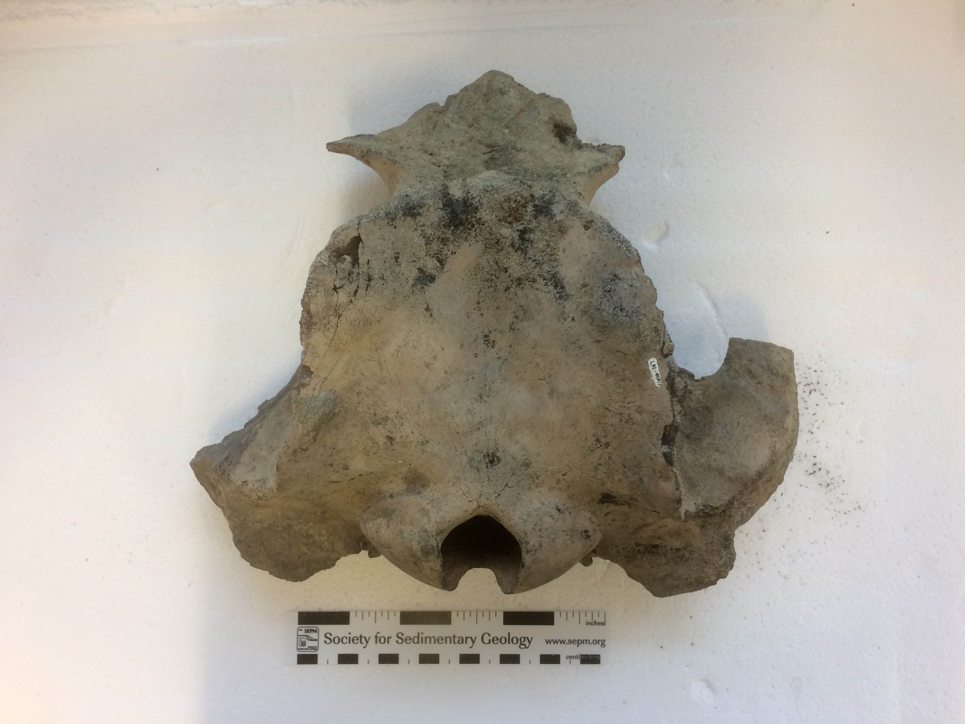 Our partial braincase of Agorophius pygmaeus.