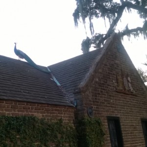Peacock studying the roofline, Middleton Gardens