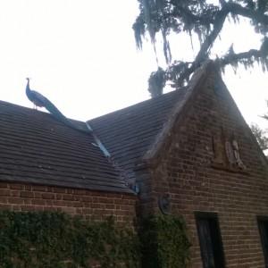 Peacock studying the roofline, Middleton Gardens