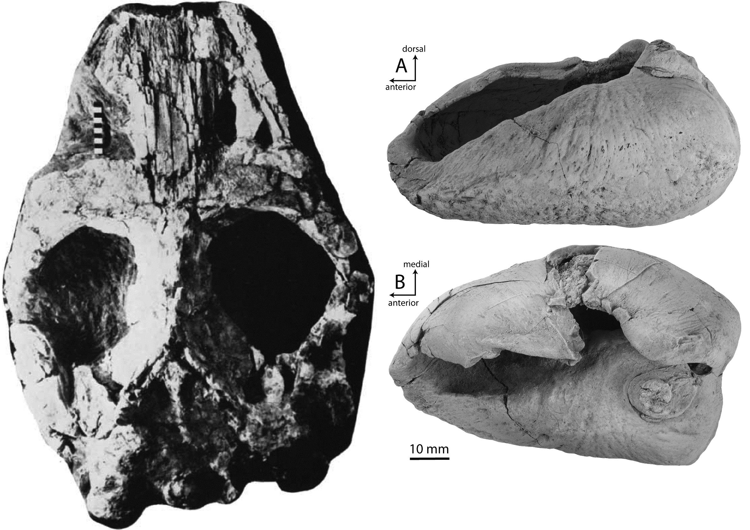 Figure X - ML skull Marples 1956