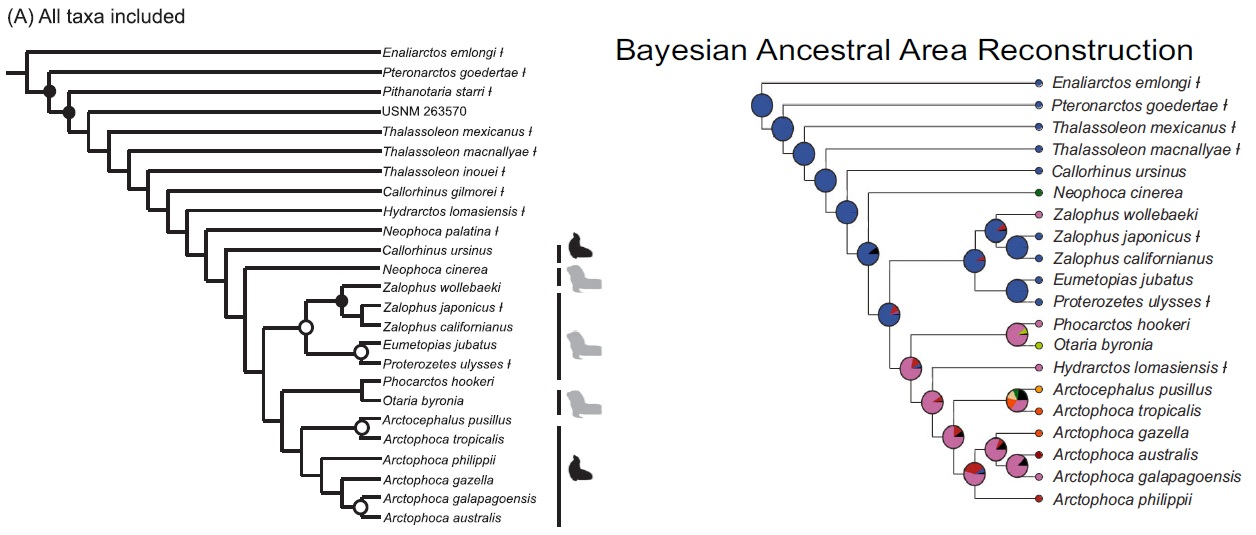 otariid cladogram