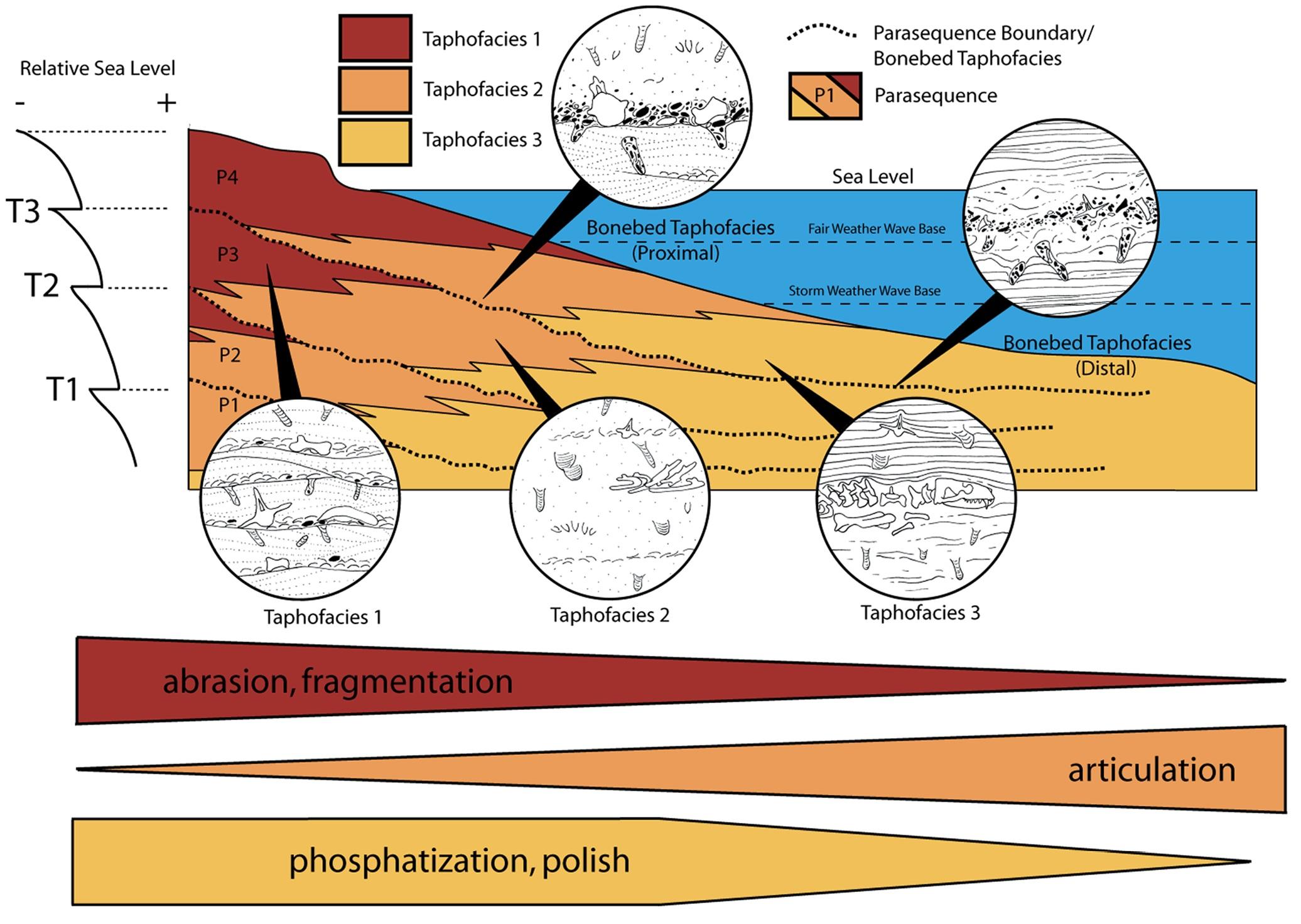 taphofacies model