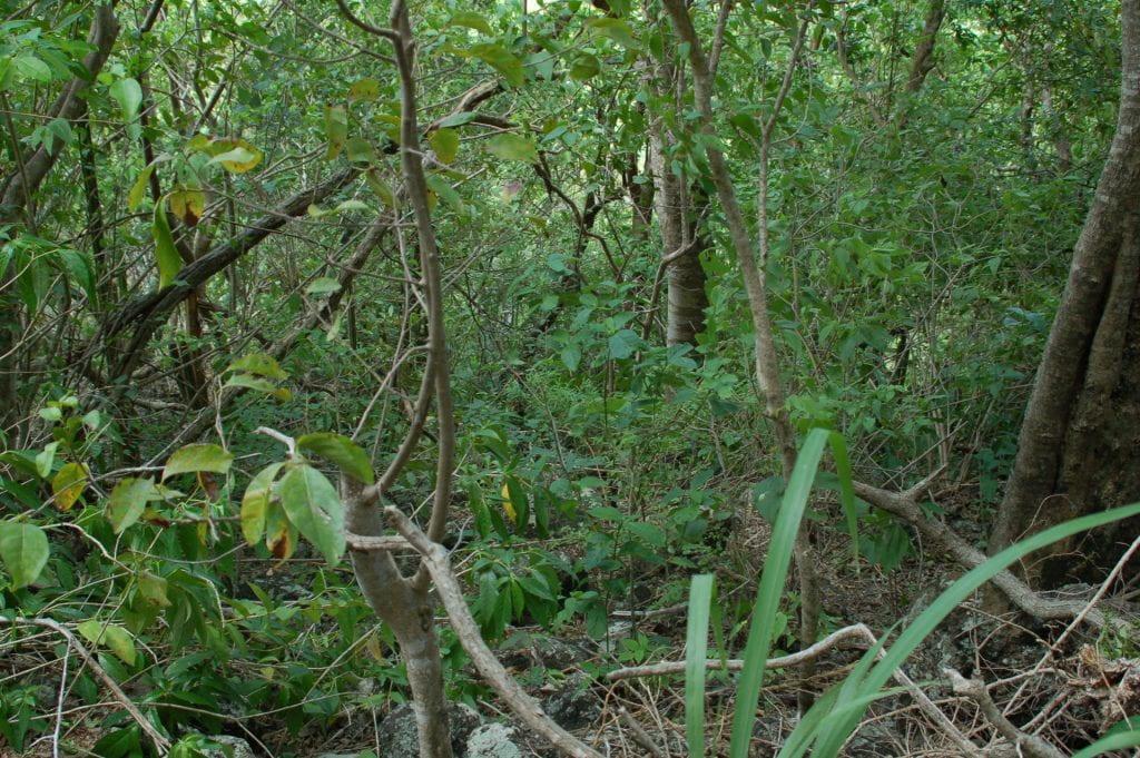 St. Lucia jungles, dense vegetation